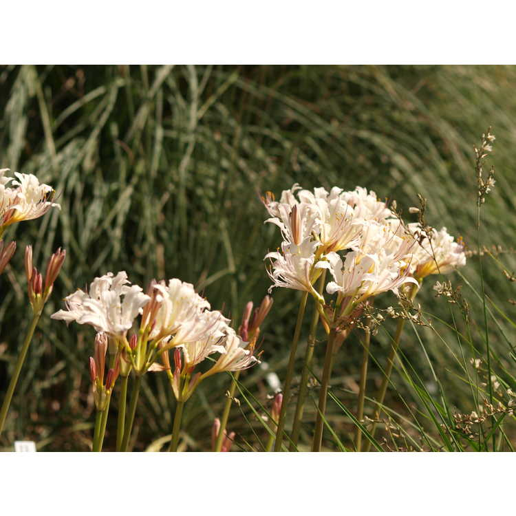Lycoris chinensis L. sprengeri