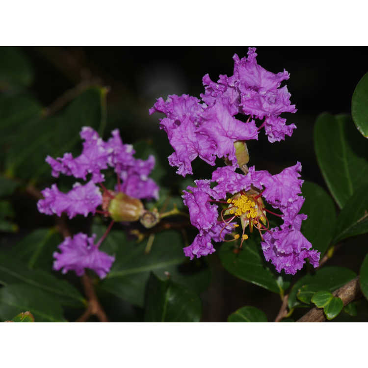 Lagerstroemia indica 'Orchid Cascade' - ground cover crepe myrtle
