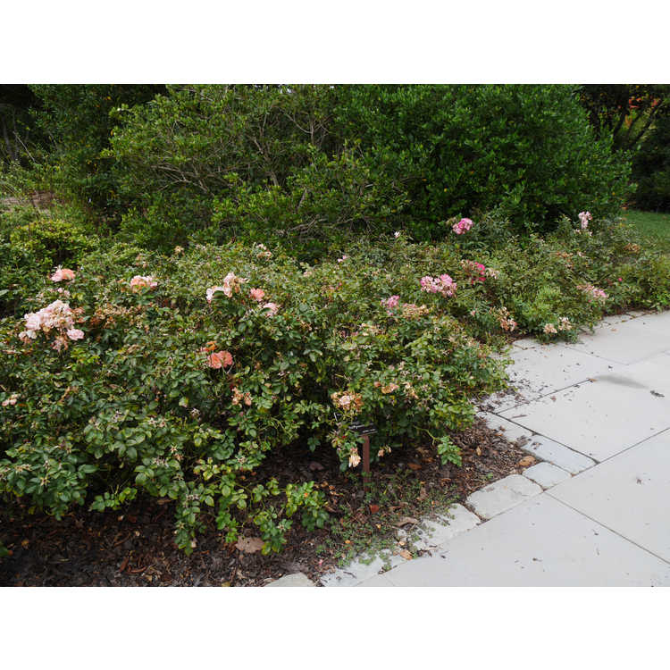 Rosa 'Meiggili' - Peach Drift ground cover rose
