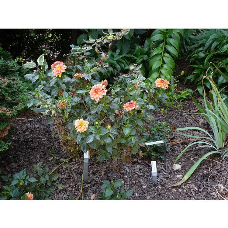Dahlia 'Gallery Cobra' - garden dahlia
