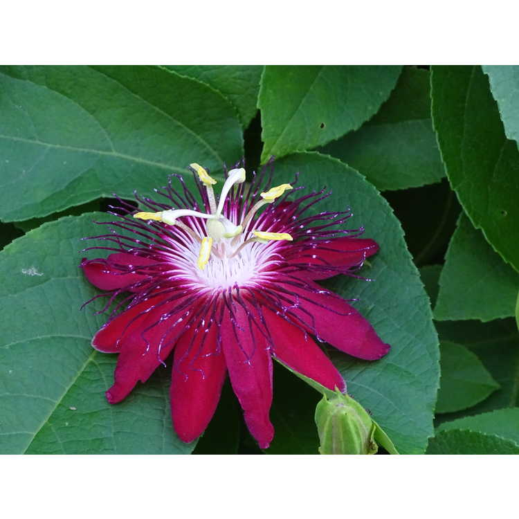 Passiflora Lady Margaret