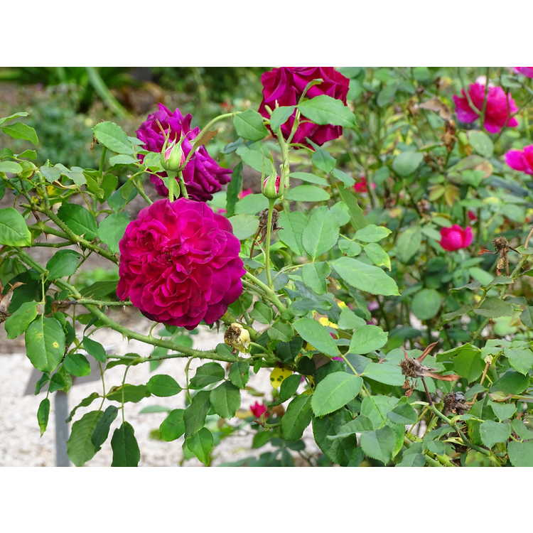 Rosa 'Ausbemard' - Munstead Wood shrub rose