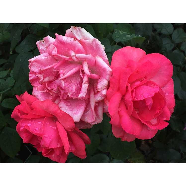 Rosa 'Radtreasure'