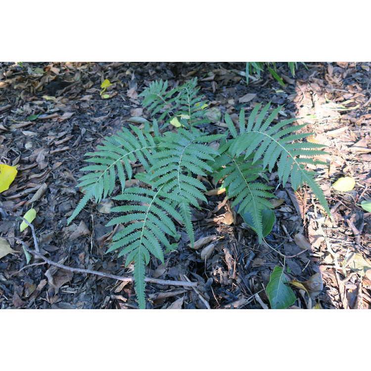 Pronephrium penangianum