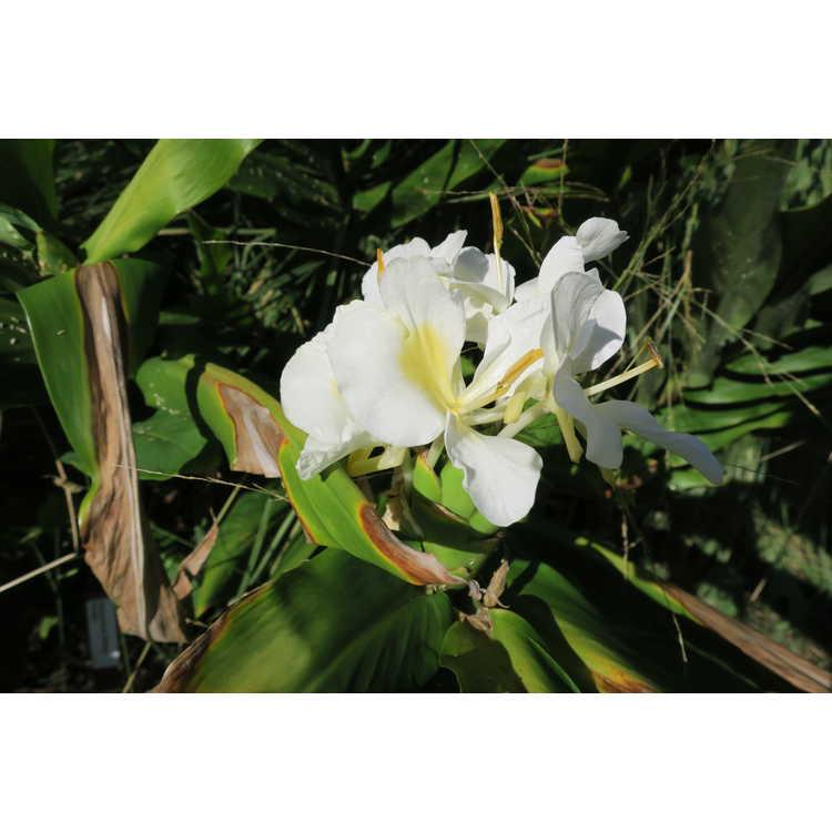 Hedychium Betty Hodge
