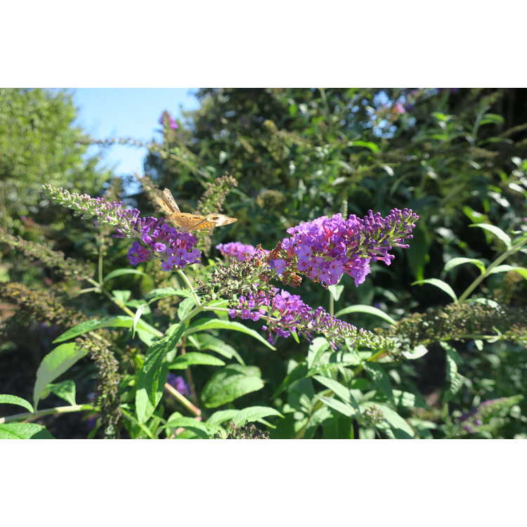Buddleja davidii 'Potter's Purple'