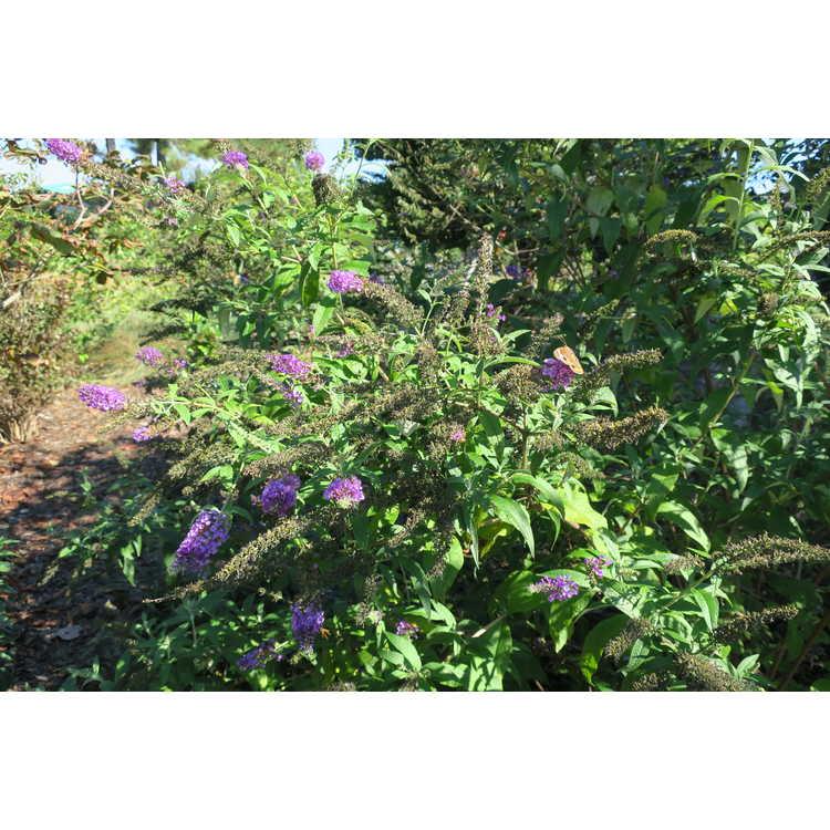 Buddleja davidii 'Potter's Purple' - butterfly-bush