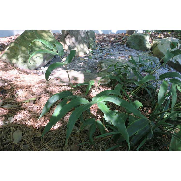Dryopteris sieboldii - Siebold's wood fern