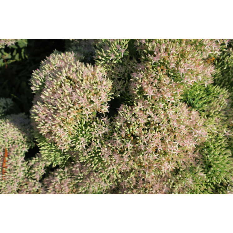 Sedum 'Pure Joy' - hybrid stonecrop