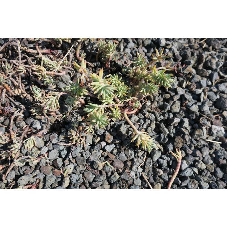 Sedum sexangulare - tasteless stonecrop