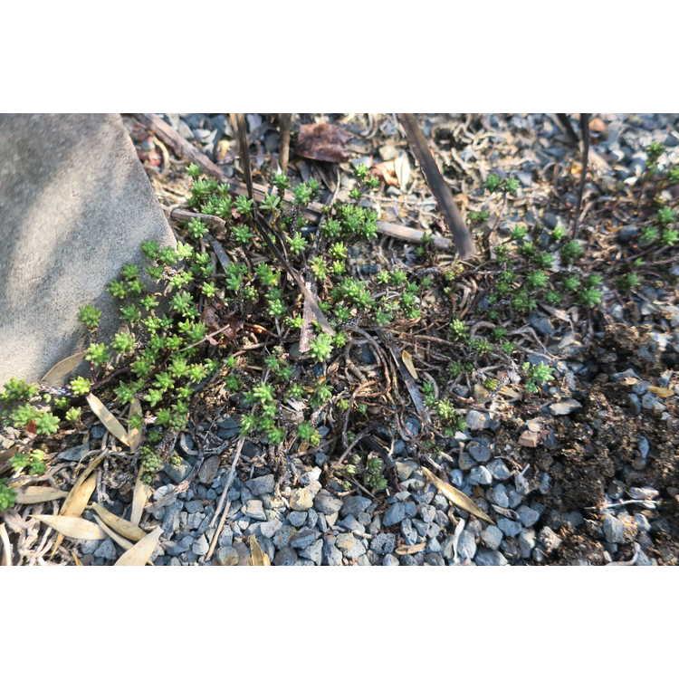 Sedum moranense subsp. grandiflorum