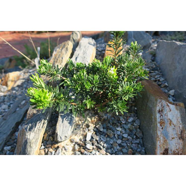 Sedum pinifolium Blue Spruce