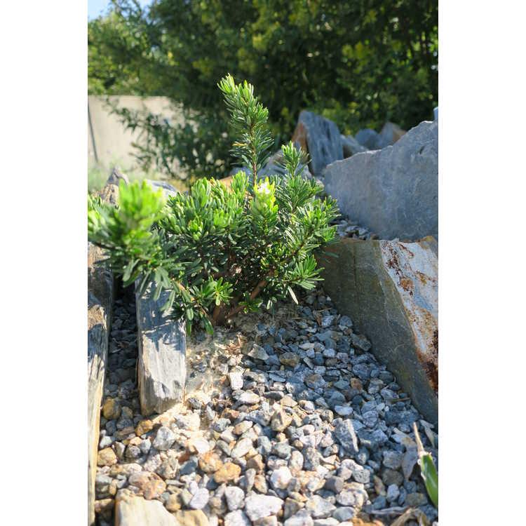 Sedum pinifolium 'Blue Spruce' - stonecrop