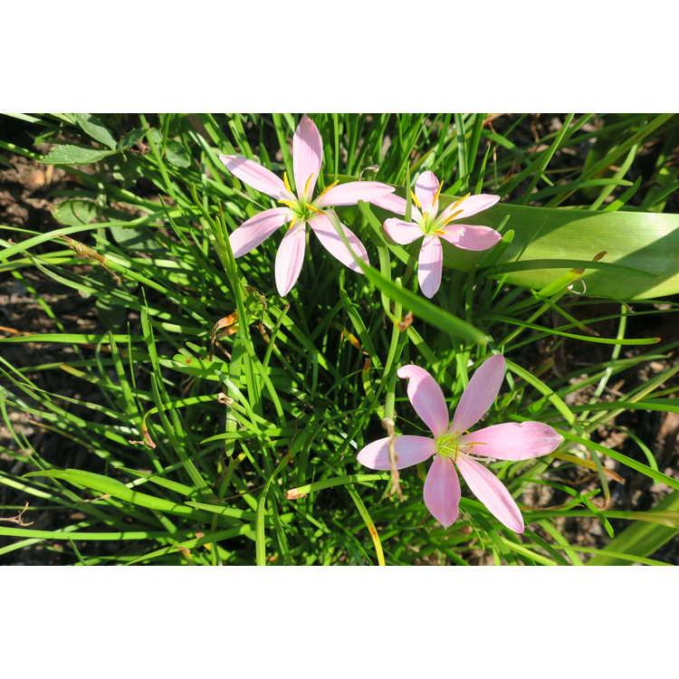 Zephyranthes 'El Cielo' - rain-lily