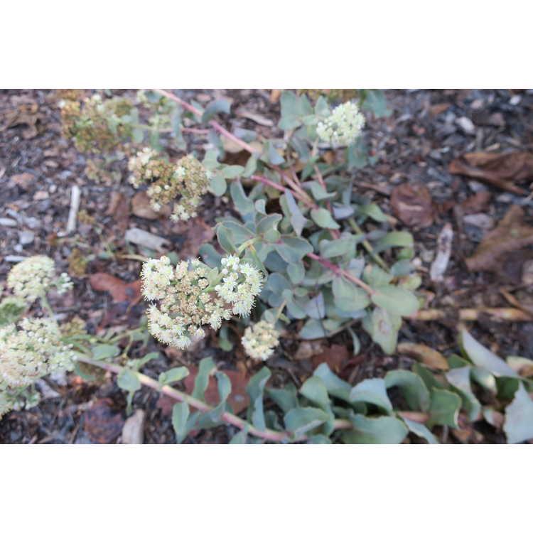 Sedum telephium subsp. ruprechtii 'Hab Grey'