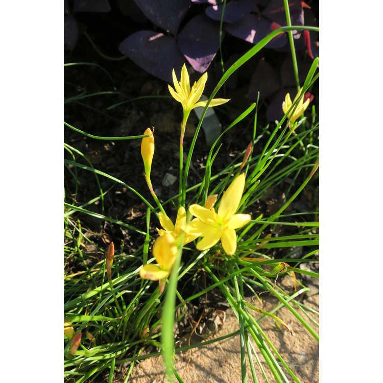 Zephyranthes macrosiphon Z. simpsonii