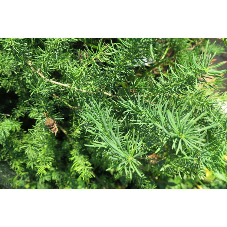 Asparagus africanus