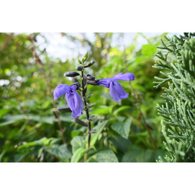 Salvia coerulea Black and Bloom