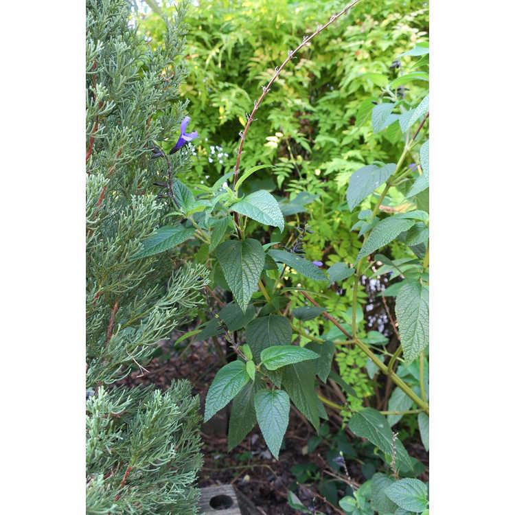 Salvia coerulea 'Black and Bloom' - blue anise sage