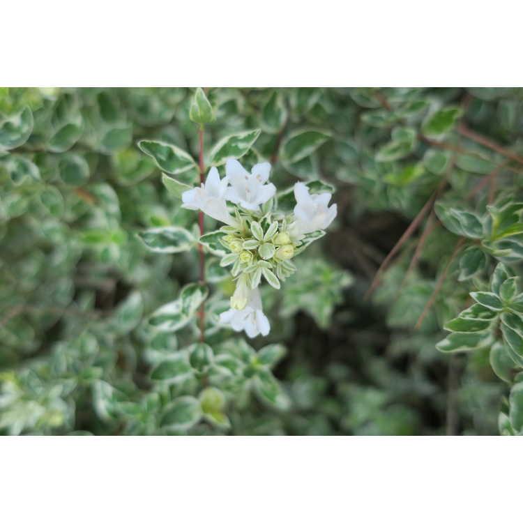 Abelia ×grandiflora 'Radiance' - variegated glossy abelia