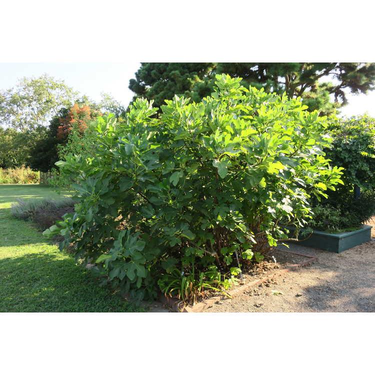 Ficus carica 'LSU Purple' - common fig