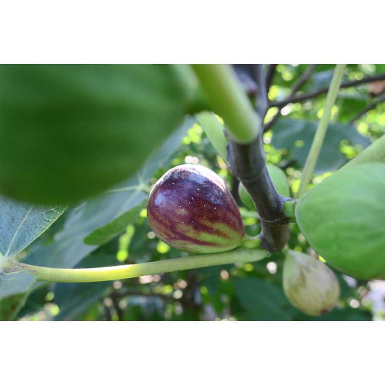 Ficus carica 'LSU Purple'