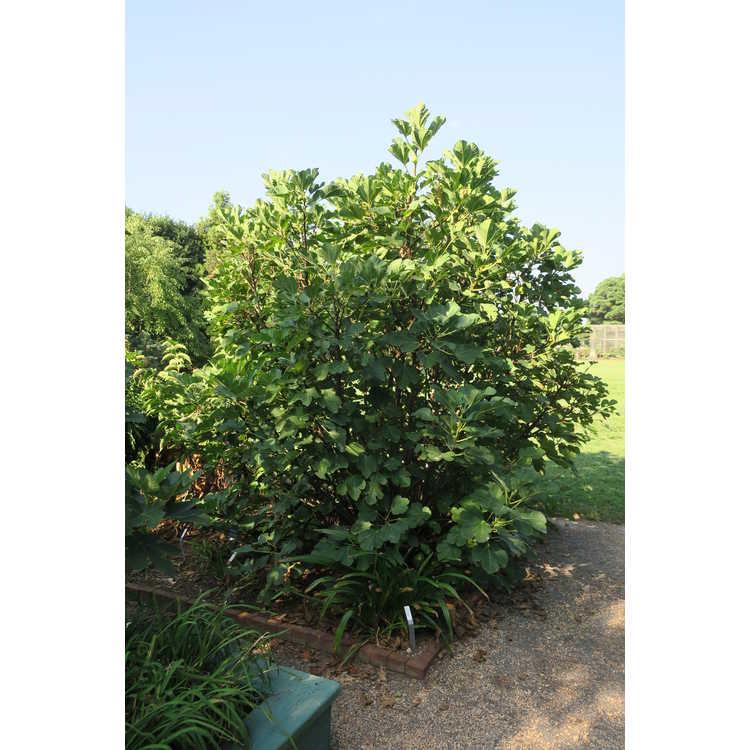 Ficus carica 'Alma'