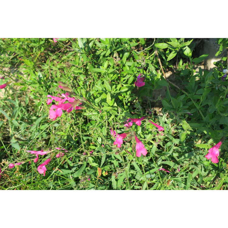 Salvia 'Plum Wine'