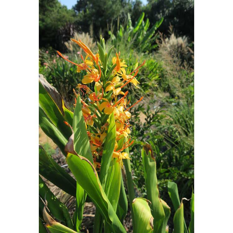 Hedychium Tai Golden Goddess