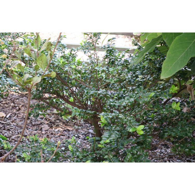Eurya leptophylla