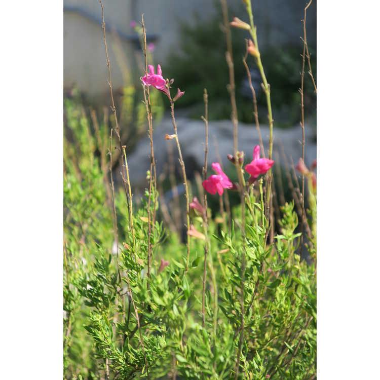 Salvia greggii (ex. 'Diane')
