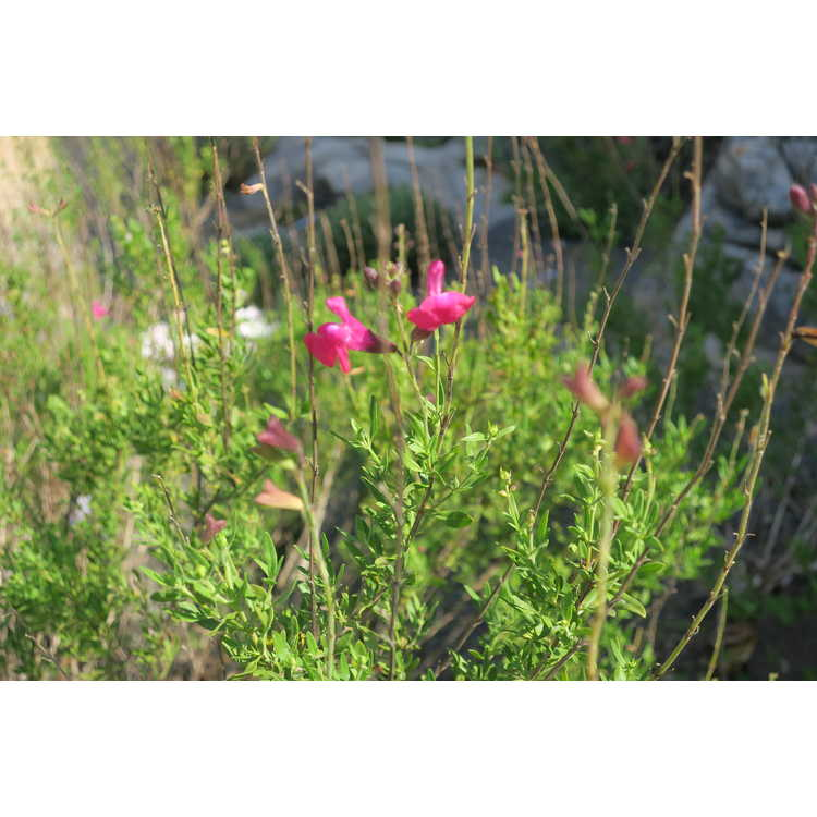 Salvia greggii ex. Diane