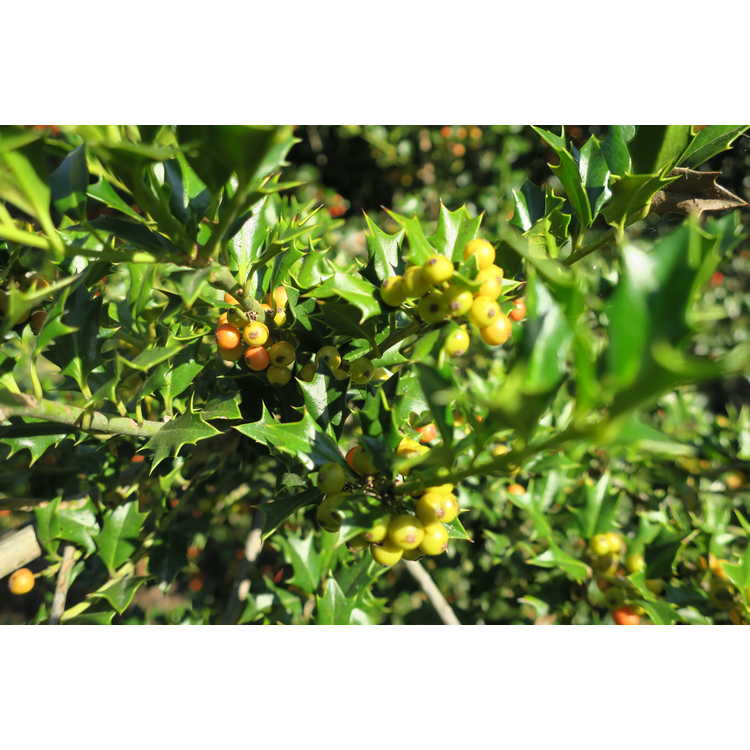 Ilex dimorphophylla × I. cornuta - hybrid holly