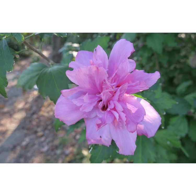 Hibiscus syriacus 'Boule de Feu' - rose-of-Sharon
