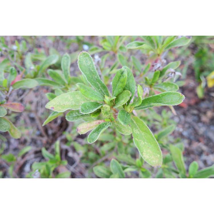 Rhododendron 'Rlh1-4p19' - Bloom-A-Thon Lavender azalea