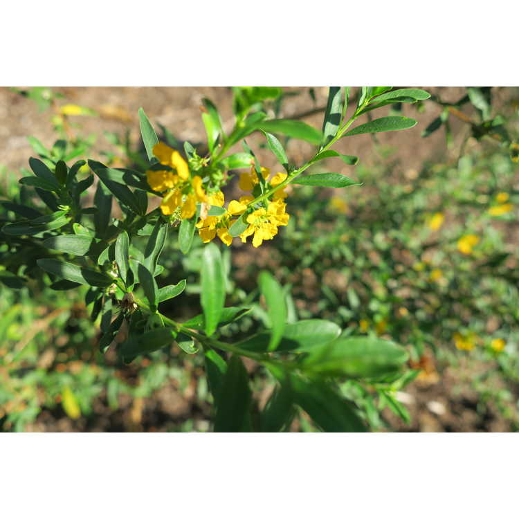 Heimia salicifolia - shrubby yellowcrest