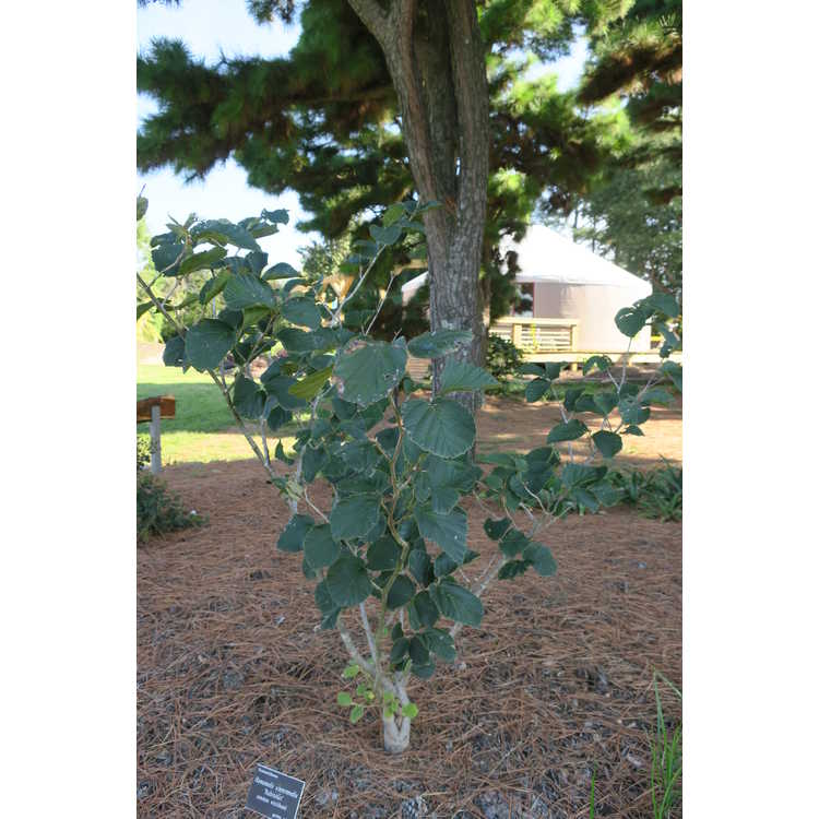 Hamamelis ×intermedia 'Rubinstar' - common witchhazel