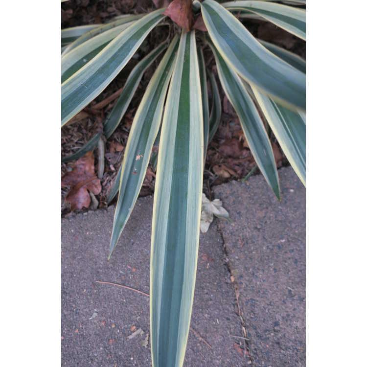 Yucca gloriosa 'Variegata' - variegated Spanish bayonet
