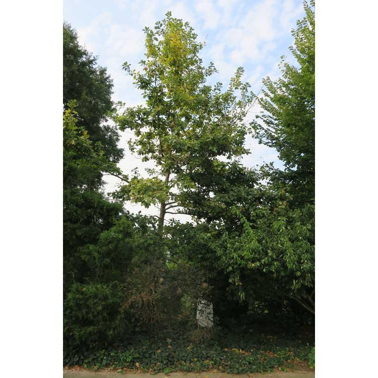 Quercus macranthera - Caucasian oak