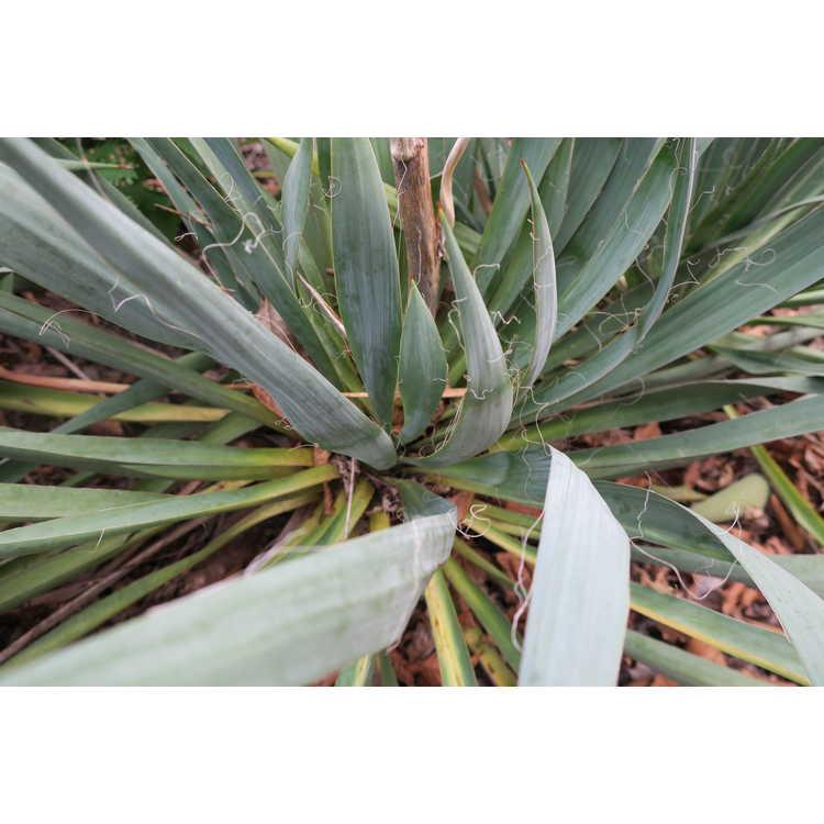 Yucca flaccida 'Garland's Gold' - gold-stripe weak-leaf yucca