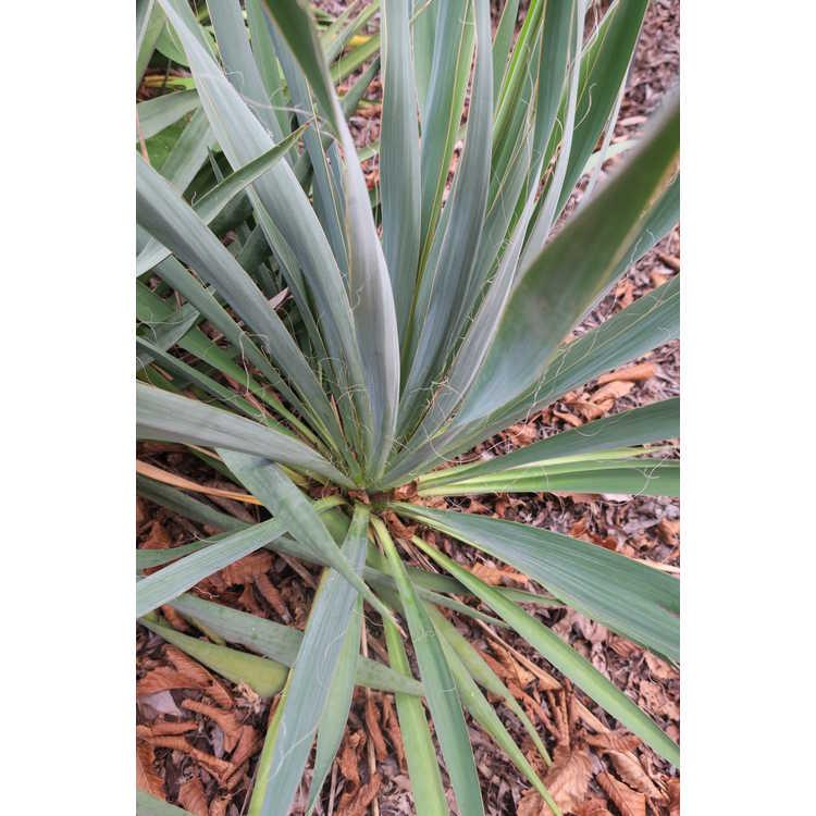 Yucca flaccida 'Garland's Gold'