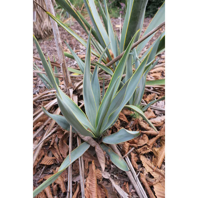 Yucca pallida - pale-leaf yucca