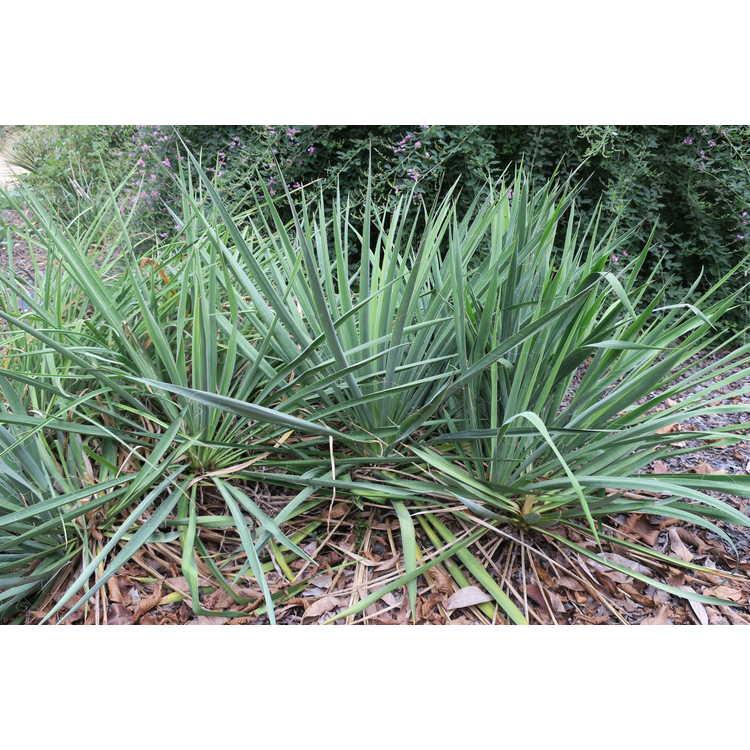 Yucca flaccida 'Ivory' - weak-leaf yucca