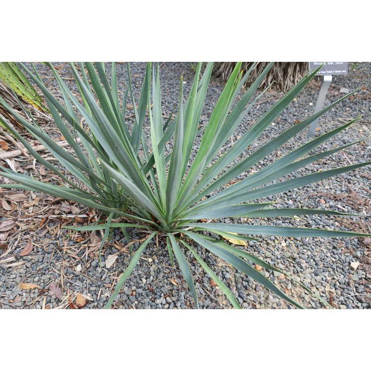 Yucca flaccida 'Blue Sentry'
