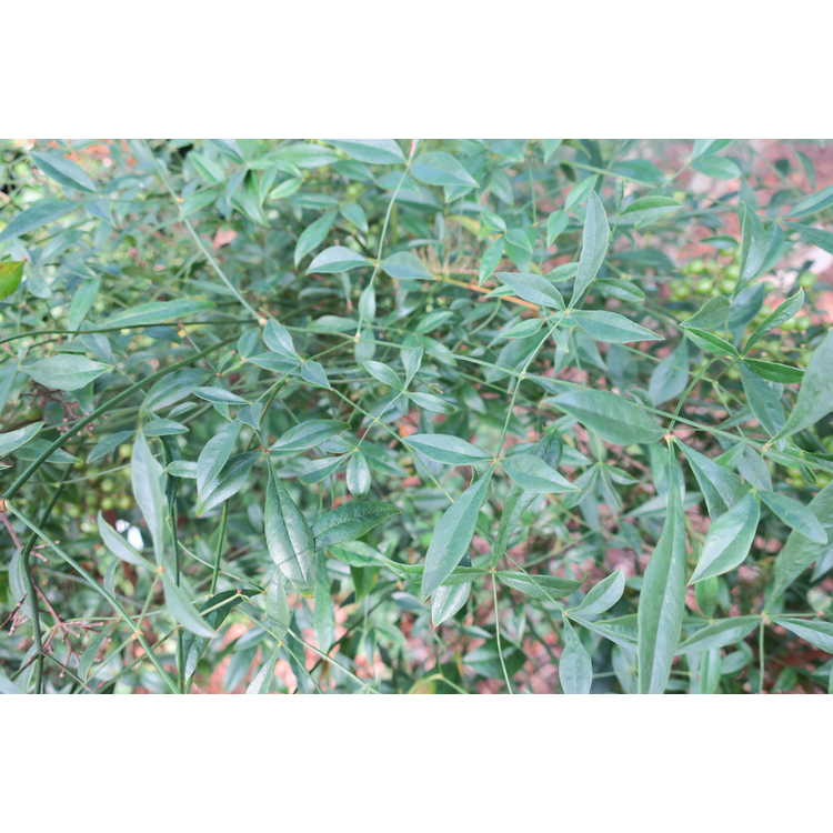 Nandina domestica 'Southern Lace' - narrowleaf heavenly bamboo