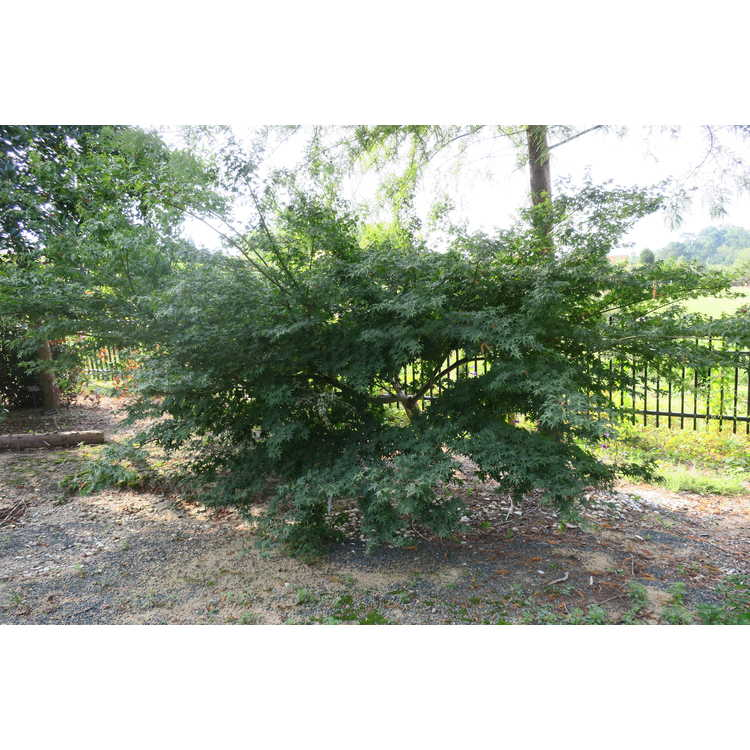 Acer palmatum 'Mardi Gras'