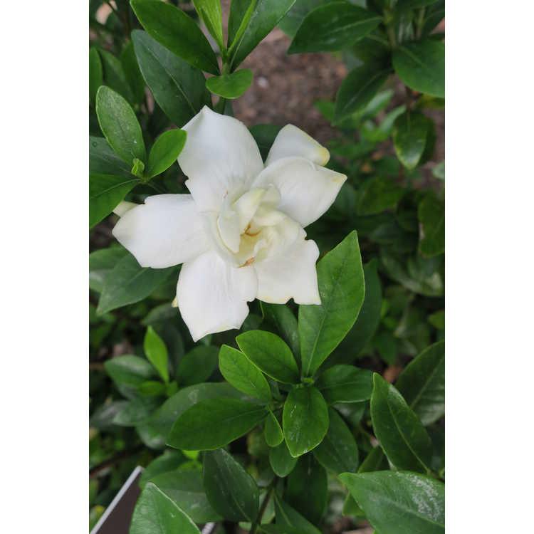 Gardenia Jasminoides U0027Leeoneu0027
