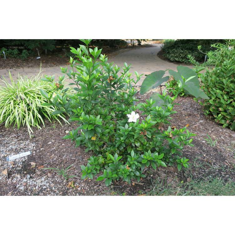 Gardenia jasminoides Leeone Jubilation