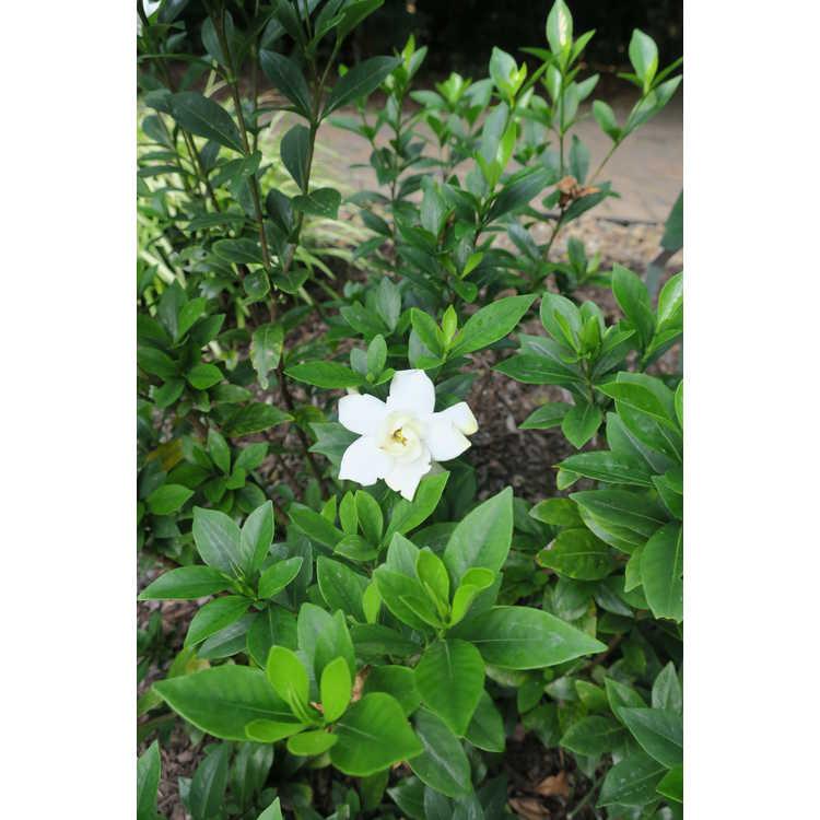 Gardenia jasminoides 'Leeone'