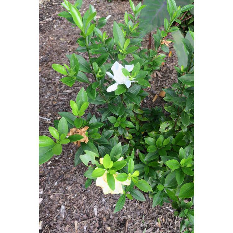 Gardenia jasminoides 'Leeone' - Jubilation Cape jessamine
